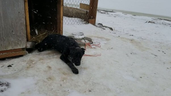 Photo of former Iditarod champion Snickers from PETA investigation