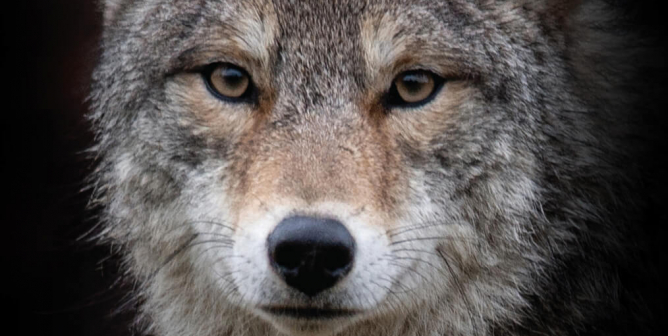 (VICTORY!) I Want You to Change. Wear Vegan. Boycott Canada Goose (Coyote)