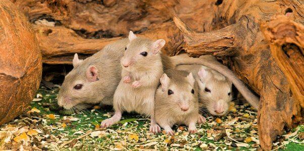 Four cute brown mice