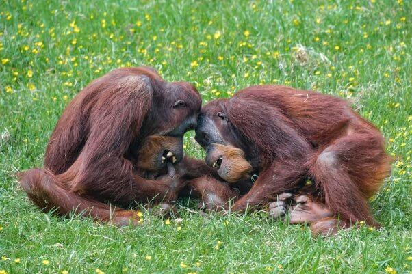 two orangutan companions laughing and cuddling