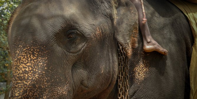 Another Elephant Collapses and Dies While Being Forced to Give Rides