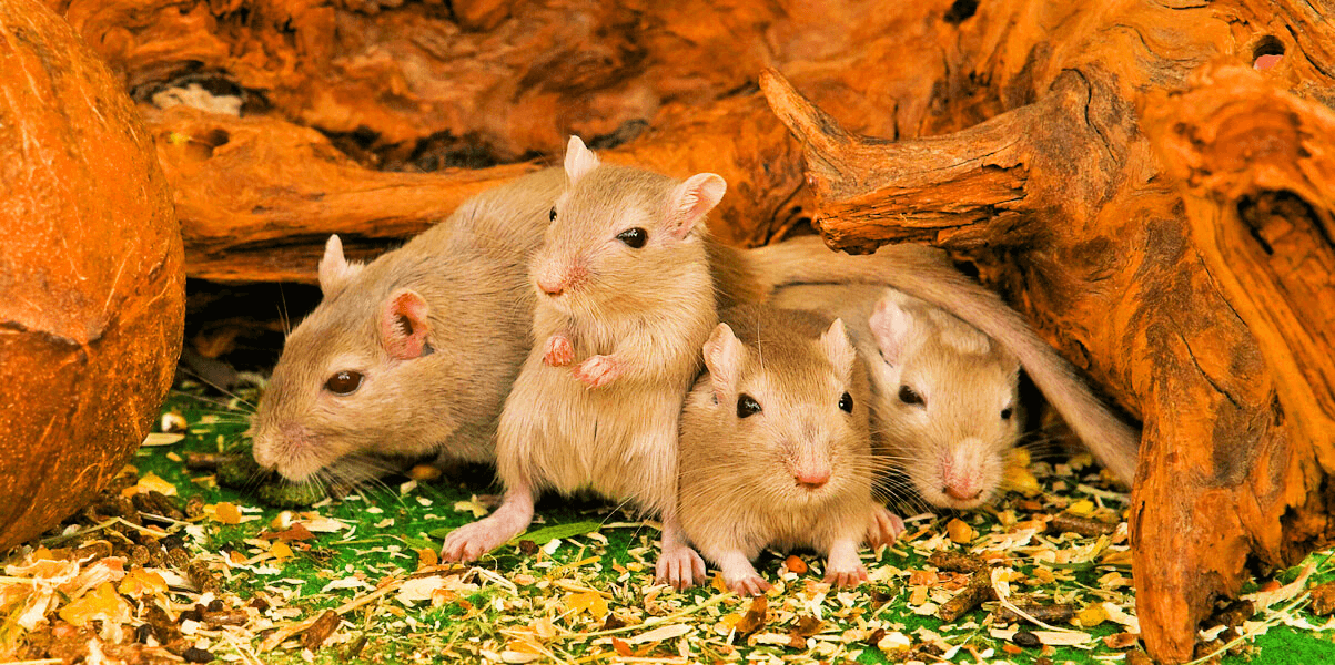 Four brown mice gather in the grass