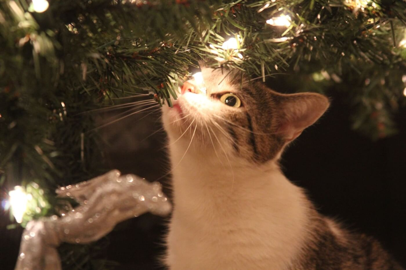 short haired cat under christmas tree with lights