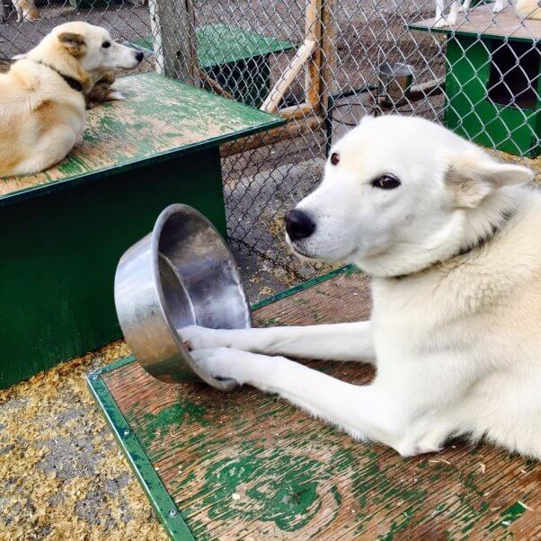 Snowy Owl Tours provided the dogs used in Disney's 'Togo.'