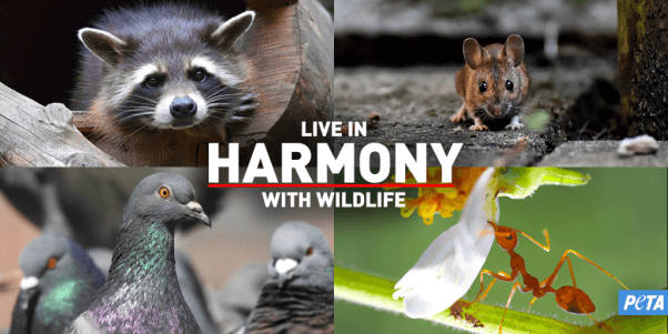 """""""Live in Harmony With Wildlife"""" collage of raccoon, mouse, pigeon, any"""