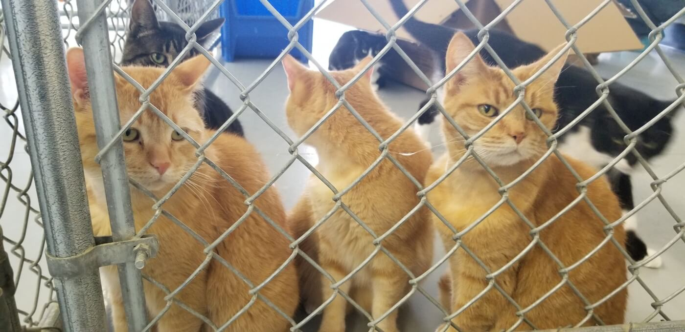 Multiple cats in an enclosure at Animal Blood Resources Int'l