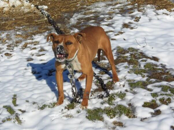 Chained Dog Who Became Too Aggressive to Be Adoptable