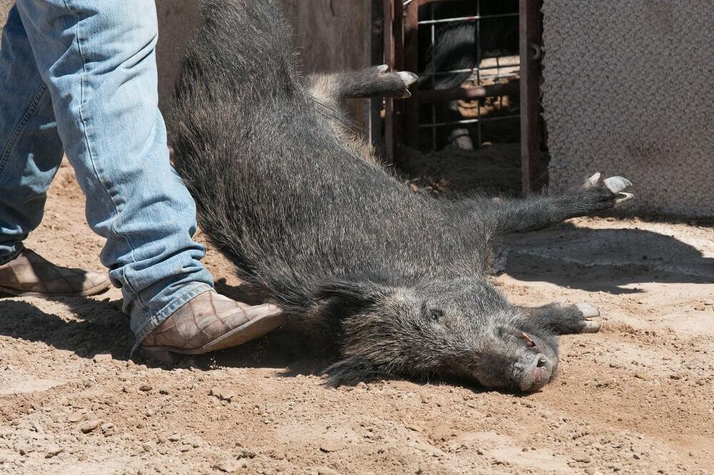 Pig Being Dragged at the Bandera Ham Rodeo