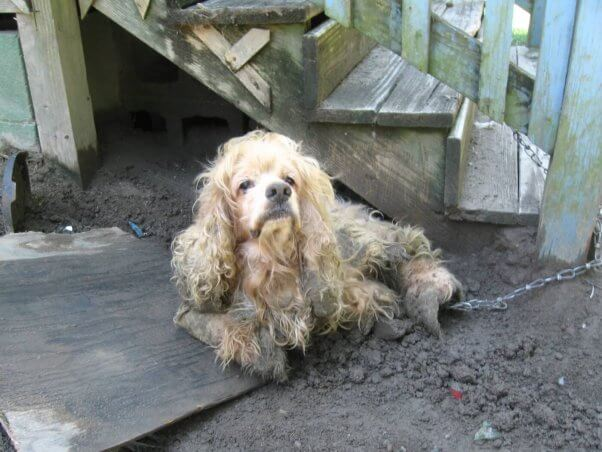 Chained Dog With Miserable Fur Mats