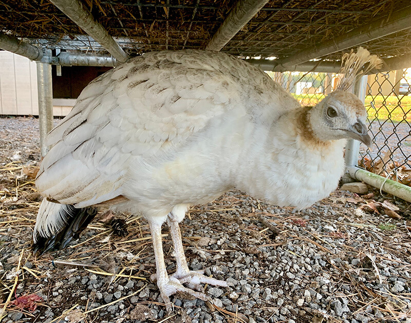 photo of peafowl at the UCSC