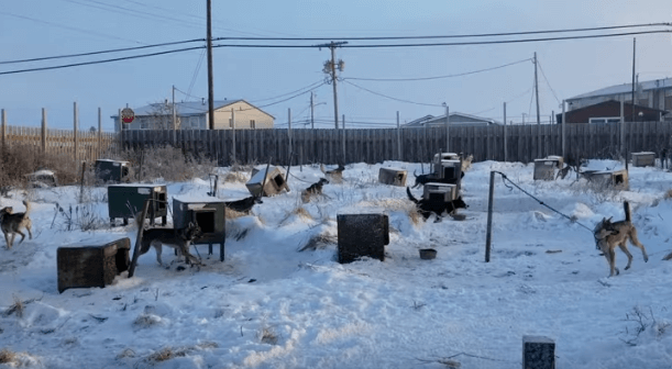 Iditarod: Chained, Suffering, and Dying Dogs