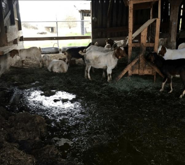 Animals Used on Antibody Farms
