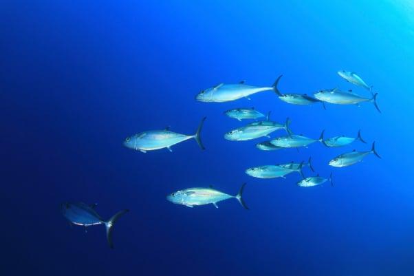 School of Tuna Fish in the Ocean