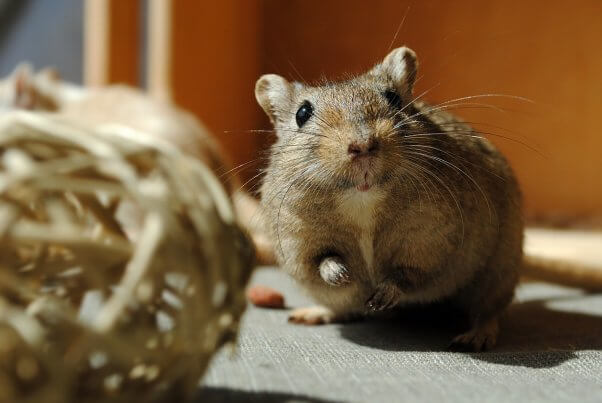 Gerbil Playing with Straw Ball