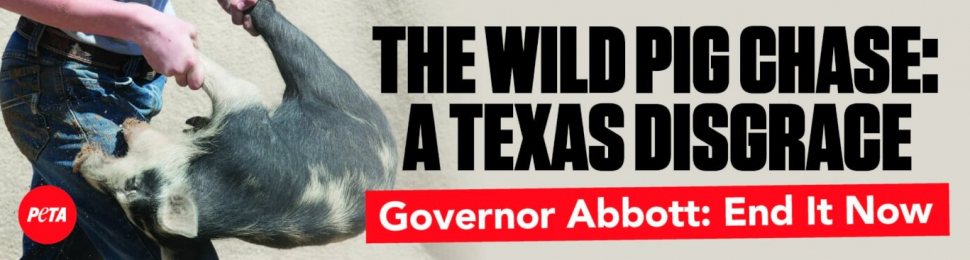 The Wild Pig Chase: A Texas Disgrace