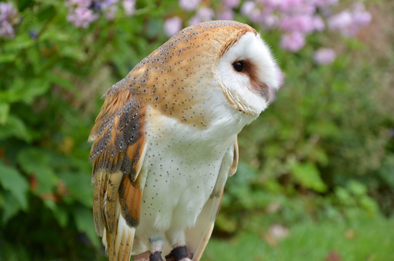 Barn Owl Sitting