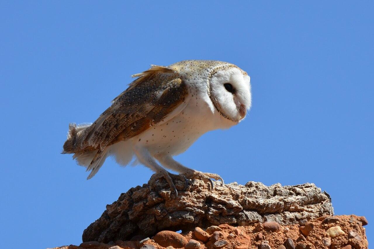 Barn Owl in the Blue Sky