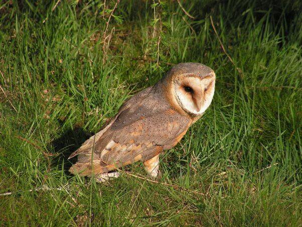 Barn Owl in the Grass