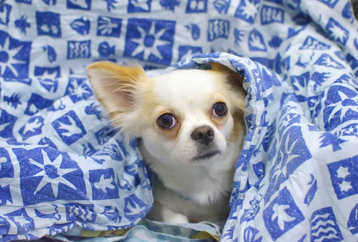 small, dog, blue, white, blanket, rescue