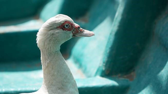 A duck rescued from Taal after volcano eruption