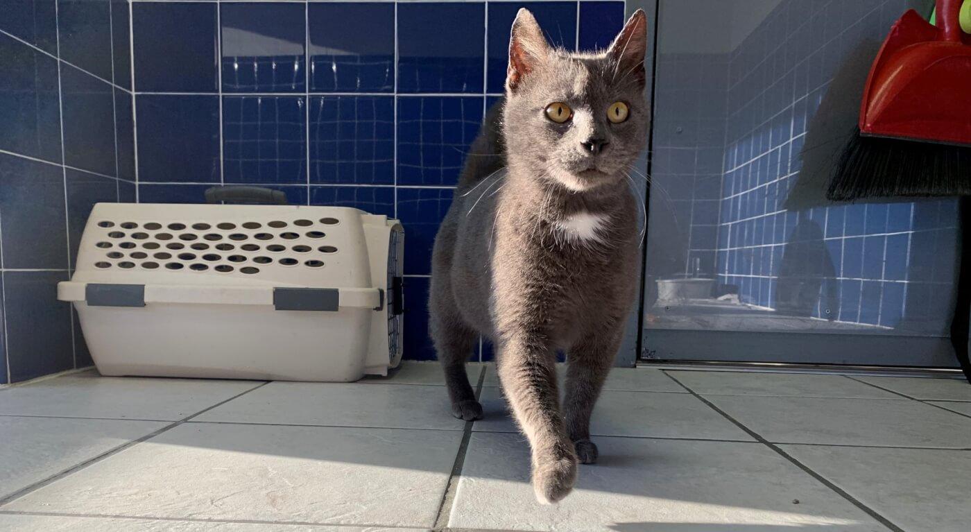 Egypt, a rescued cat, walking toward camera at PETA headquarters