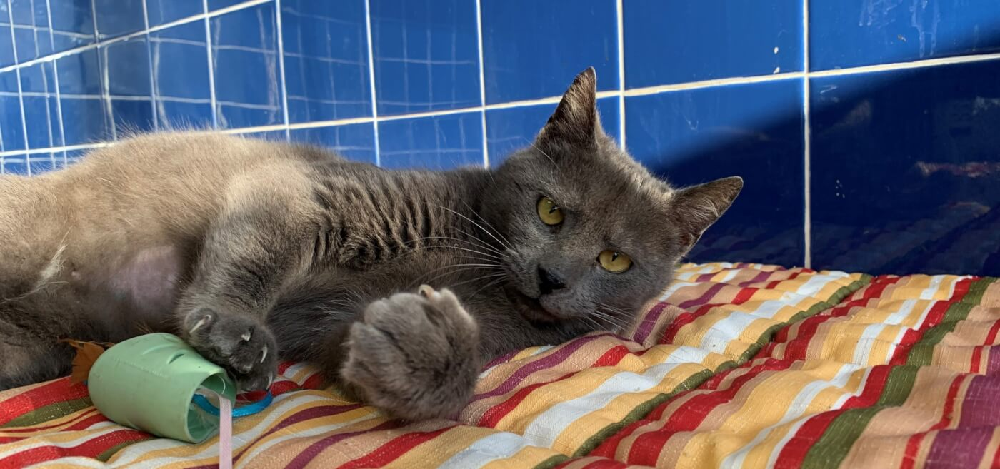 Egypt, a gray cat rescued by PETA, playing with a toy at PETA HQ