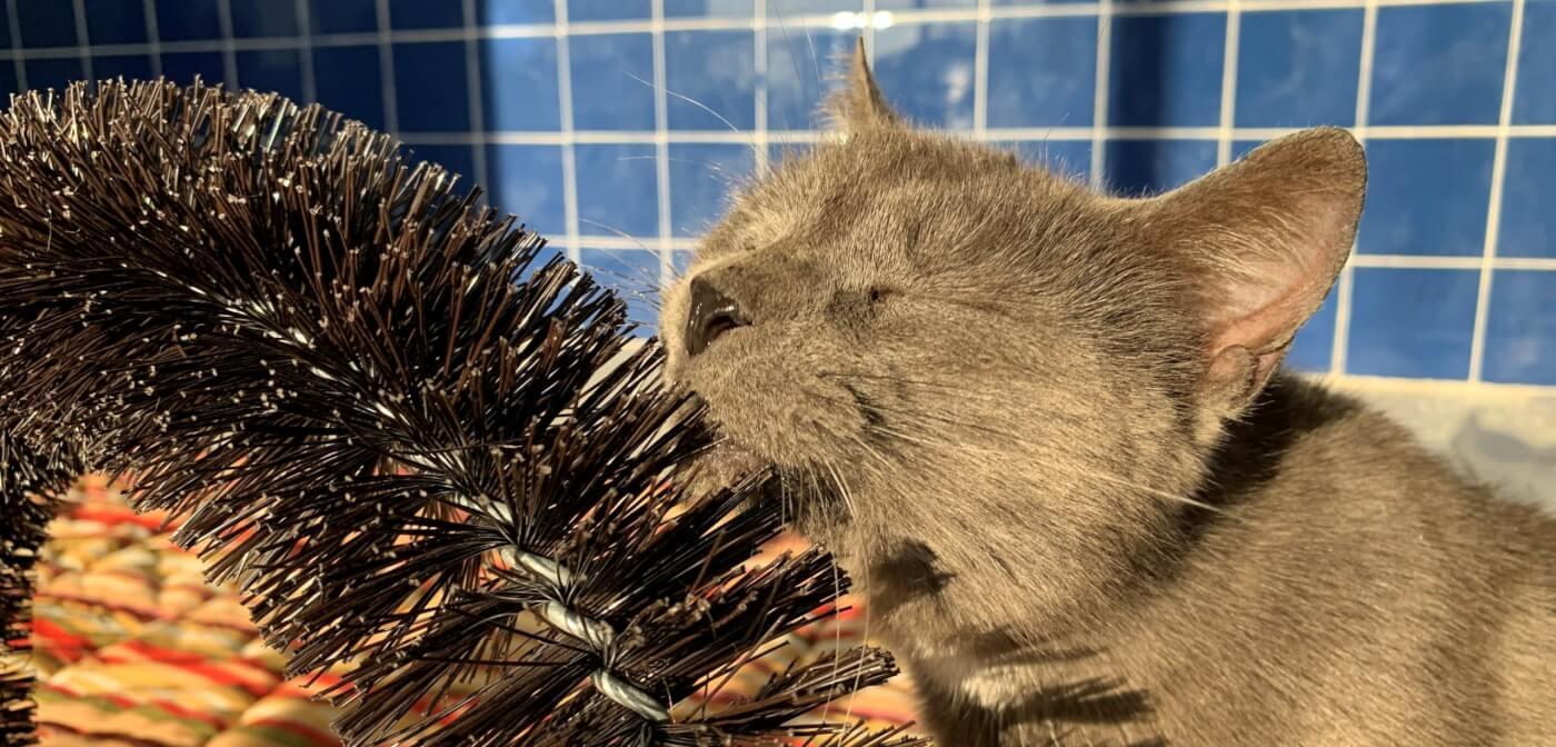 Rescued cat gray Egypt getting a chin scratch at PETA headquarters