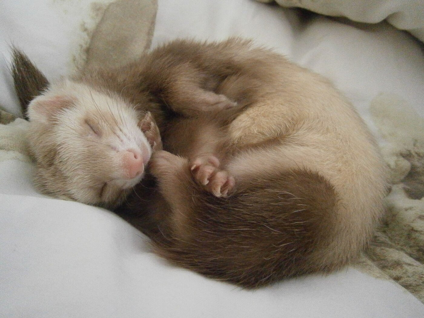 never buy ferrets for sale as pets