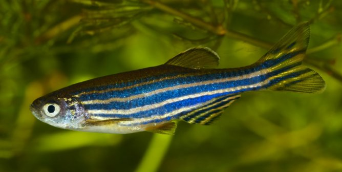 You Paid for It: Mice Baked to Death, Zebrafish Killed With Salt