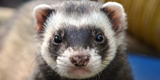 Fast Ferret Facts: Here's Why These Animals Aren't 'Starter Pets'