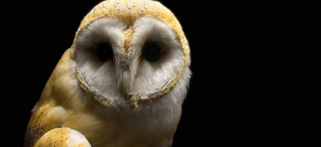 Barn Owl in the Dark