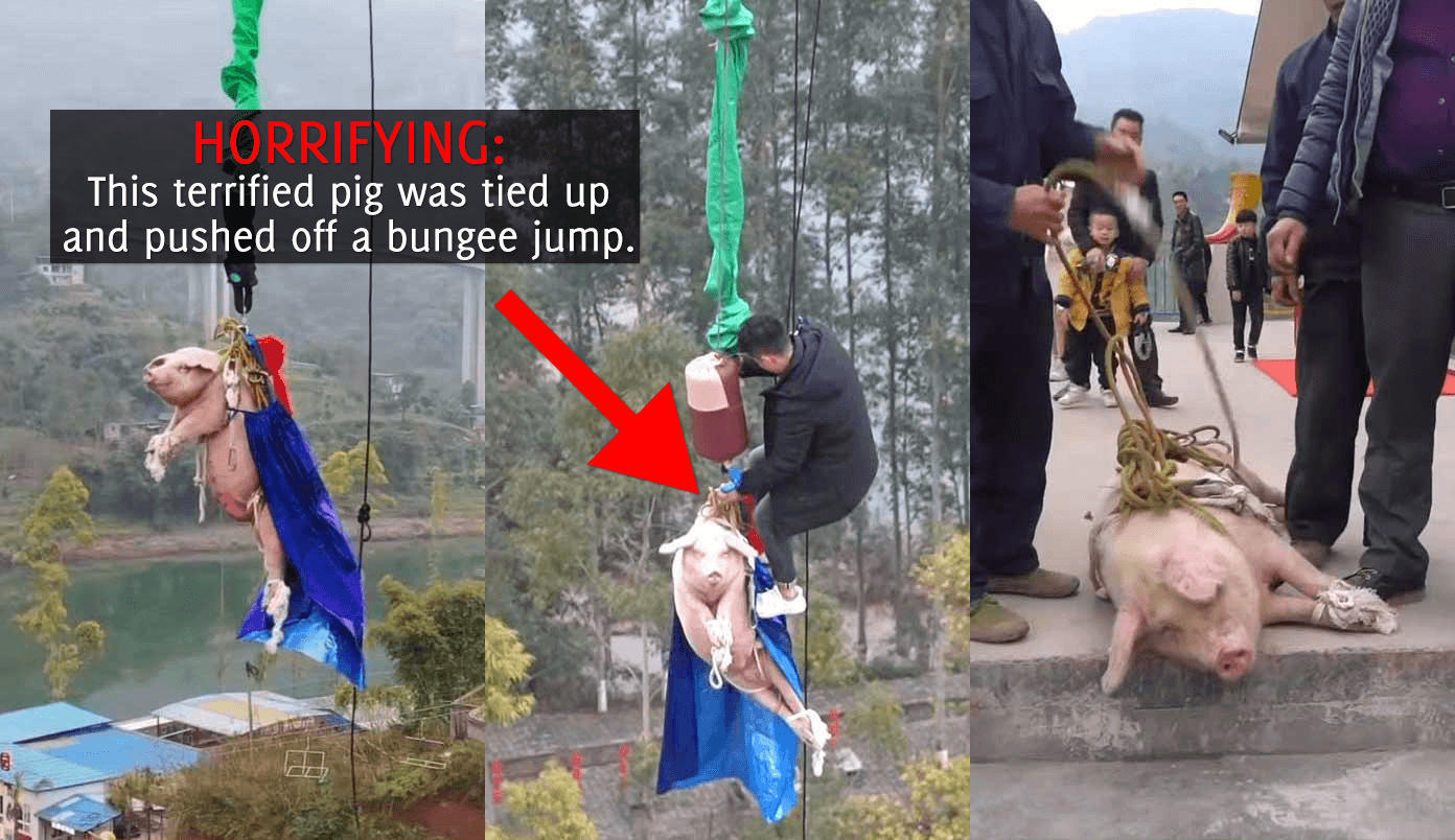 Pig Strung Up by the Legs, Thrown Off Tower in Horrific Bungee-Jump Stunt