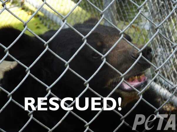 dillan the bear behind chain link fence with the text rescued! and peta logo