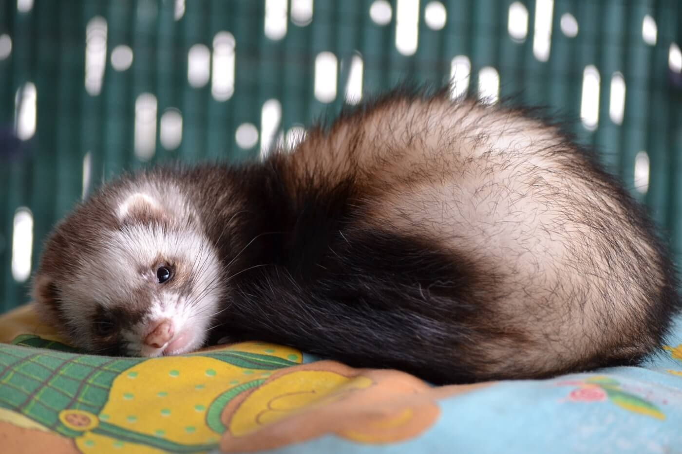 why ferrets are not starter pets