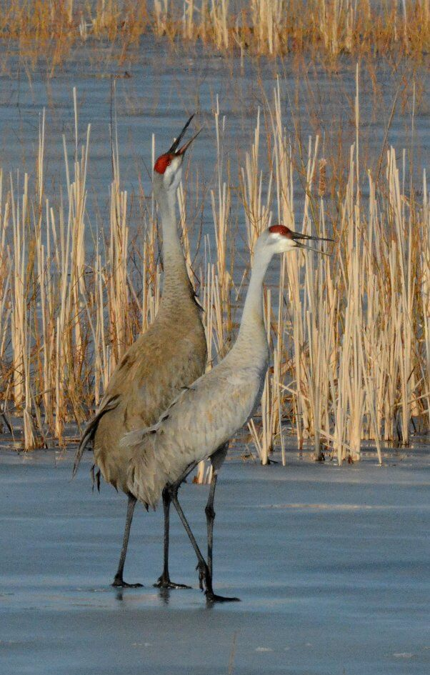 Two Sandhill Cranes in the Marsh