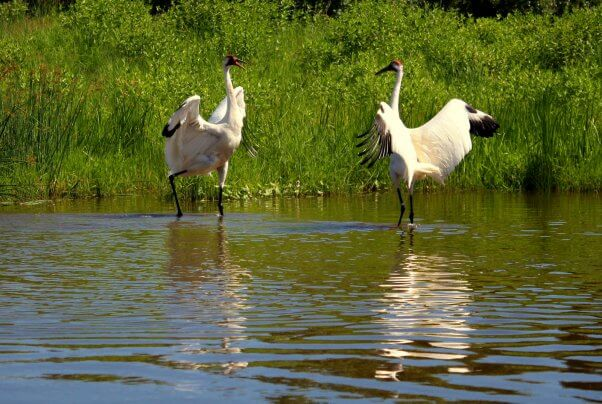 Two Whooping Cranes Dancing for Each Other