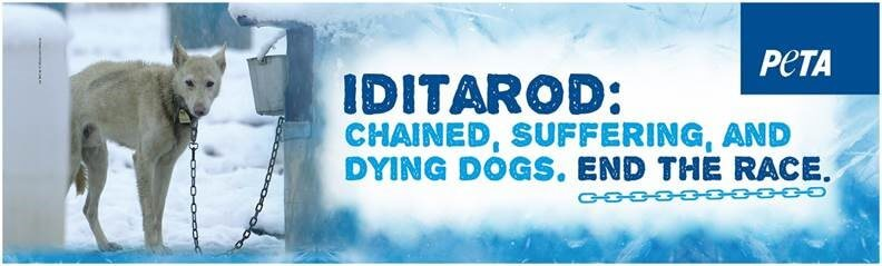 Image result for iditarod dog suffering