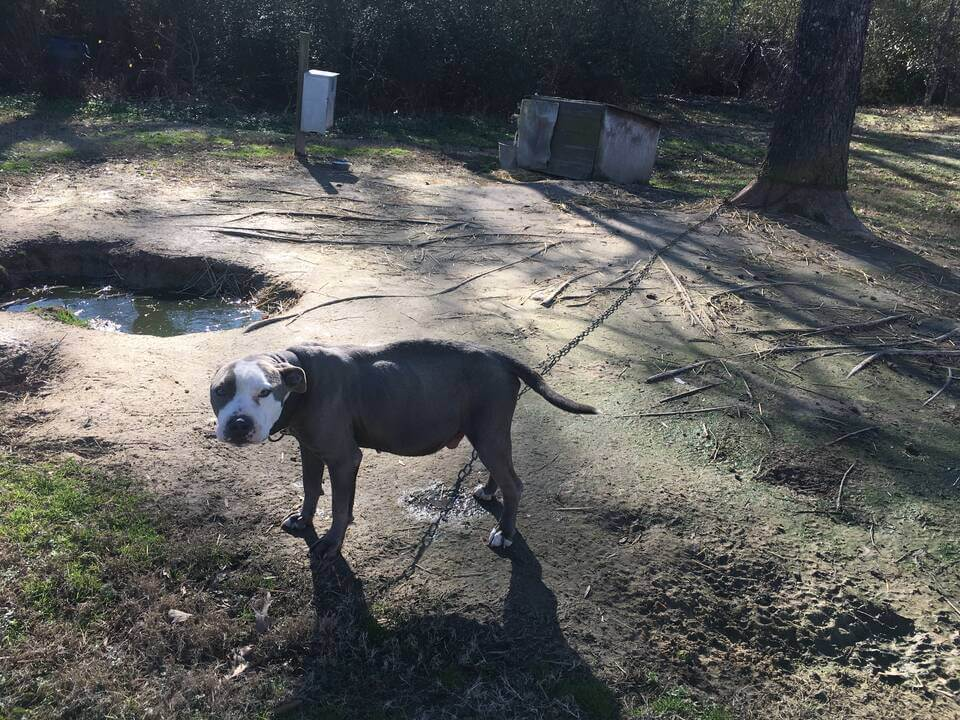 Bobo, a pit bull brought to PETA for end-of-life services