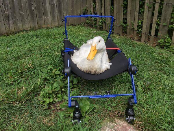 Are Ducks Good 'Pets'?