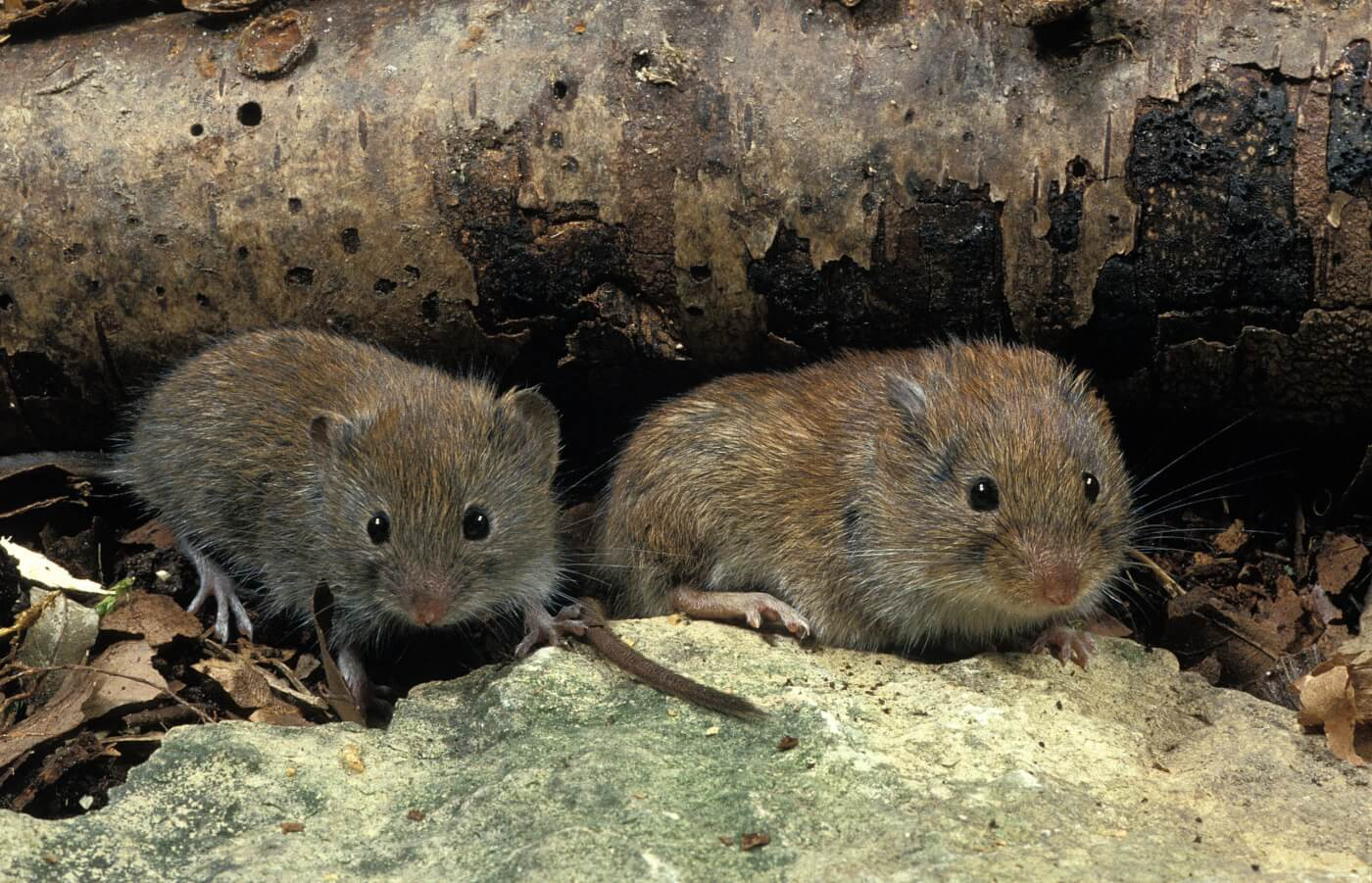 Prairie Voles and other animals who mate for life