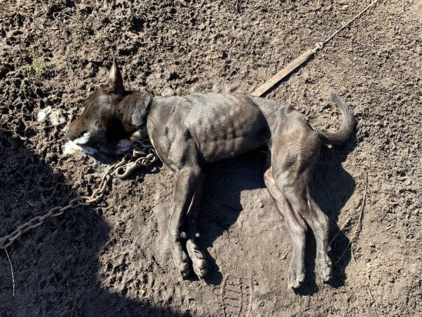 Deceased dog discovered by PETA fieldworkers in January 2020