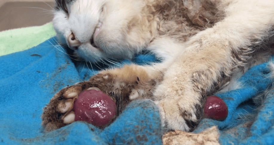 Sweetie, a feral cat brought to PETA for end of life services