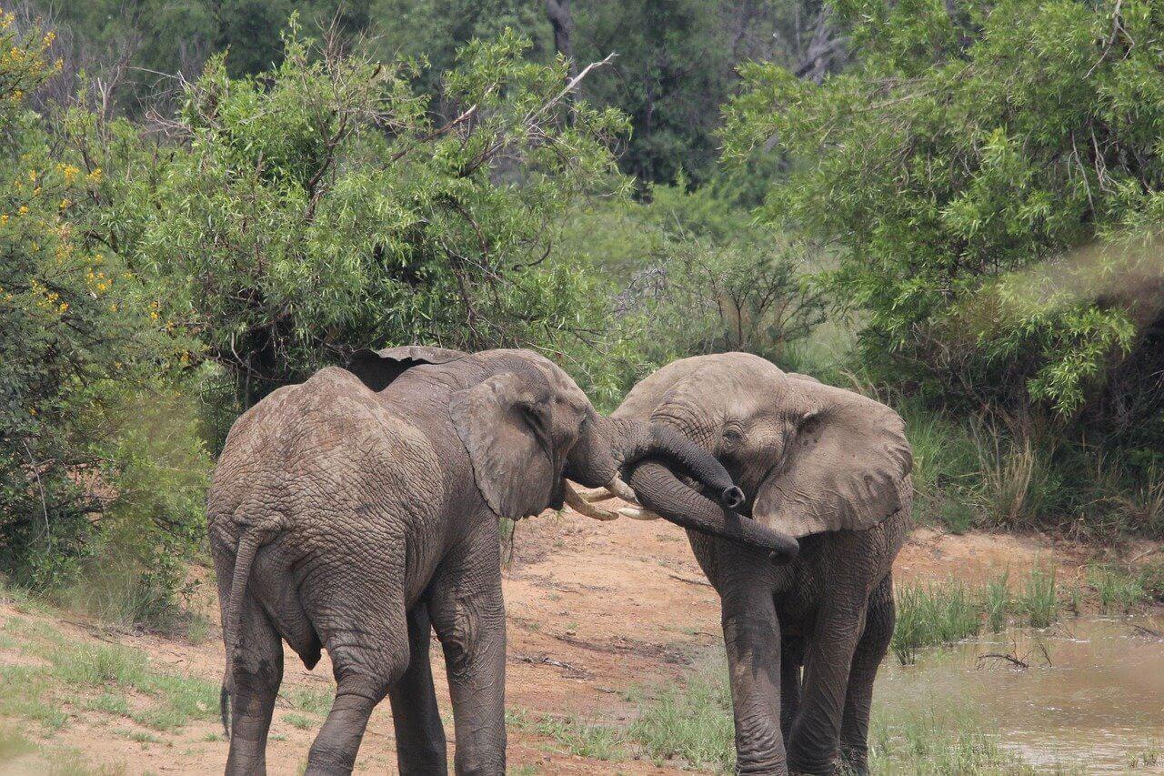 elephants showing affection, animal love