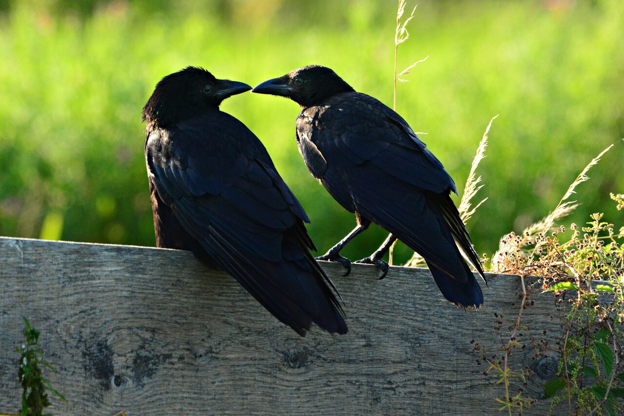 crows and other animal Couples who mate for life