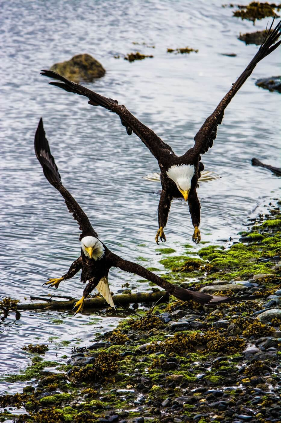 Bald Eagles and other animals who mate for life