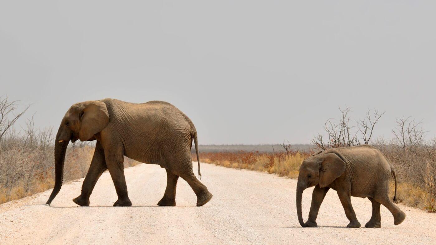 pittburgh zoo tries to capture wild baby elephants