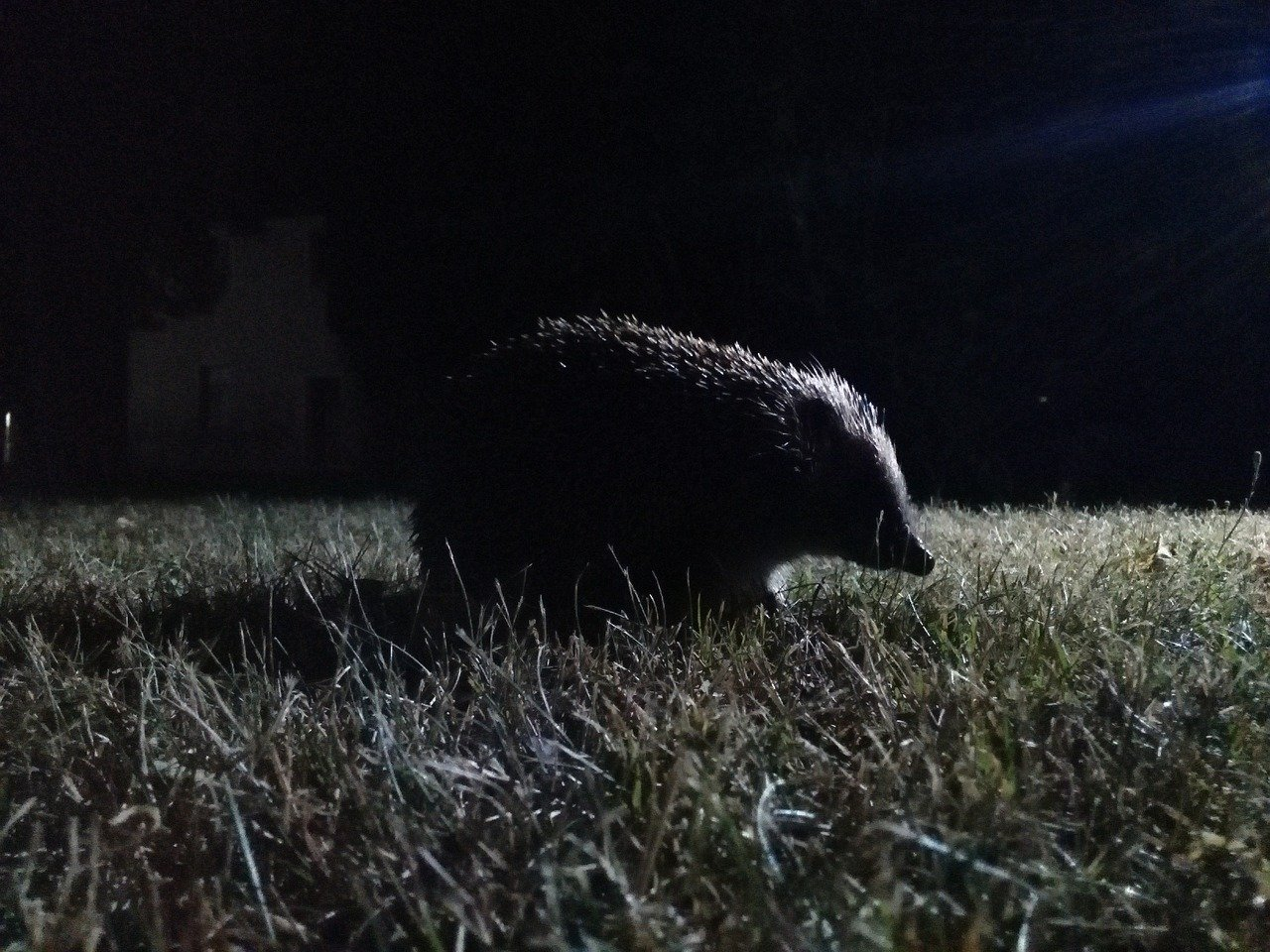 Hedgehogs are nocturnal