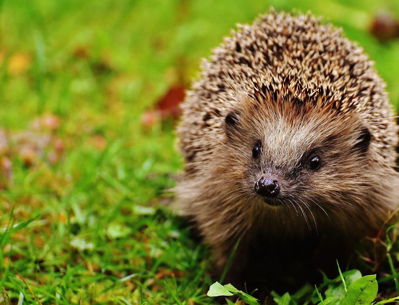 never buy Hedgehogs