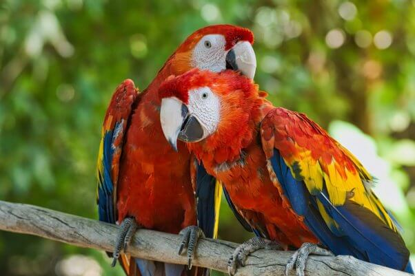 Two Scarlet Macaws Preening Each Other