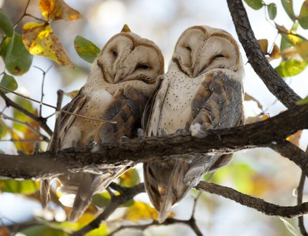 Barn Owls and other animals who mate for life